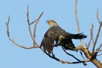 Common Cuckoo/Cuculus canorus - Photographer: Николай Димитров